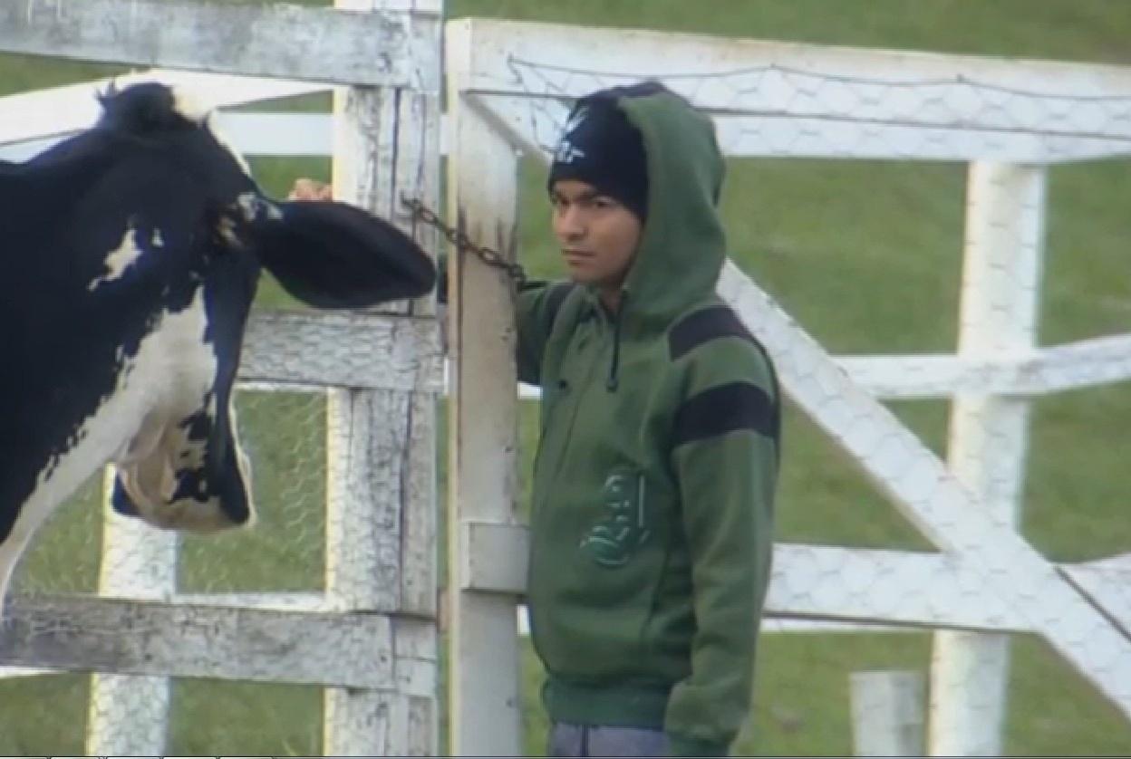 22.ago.2013 - Yudi olha desconfiado para vaca ao passar pela porteira