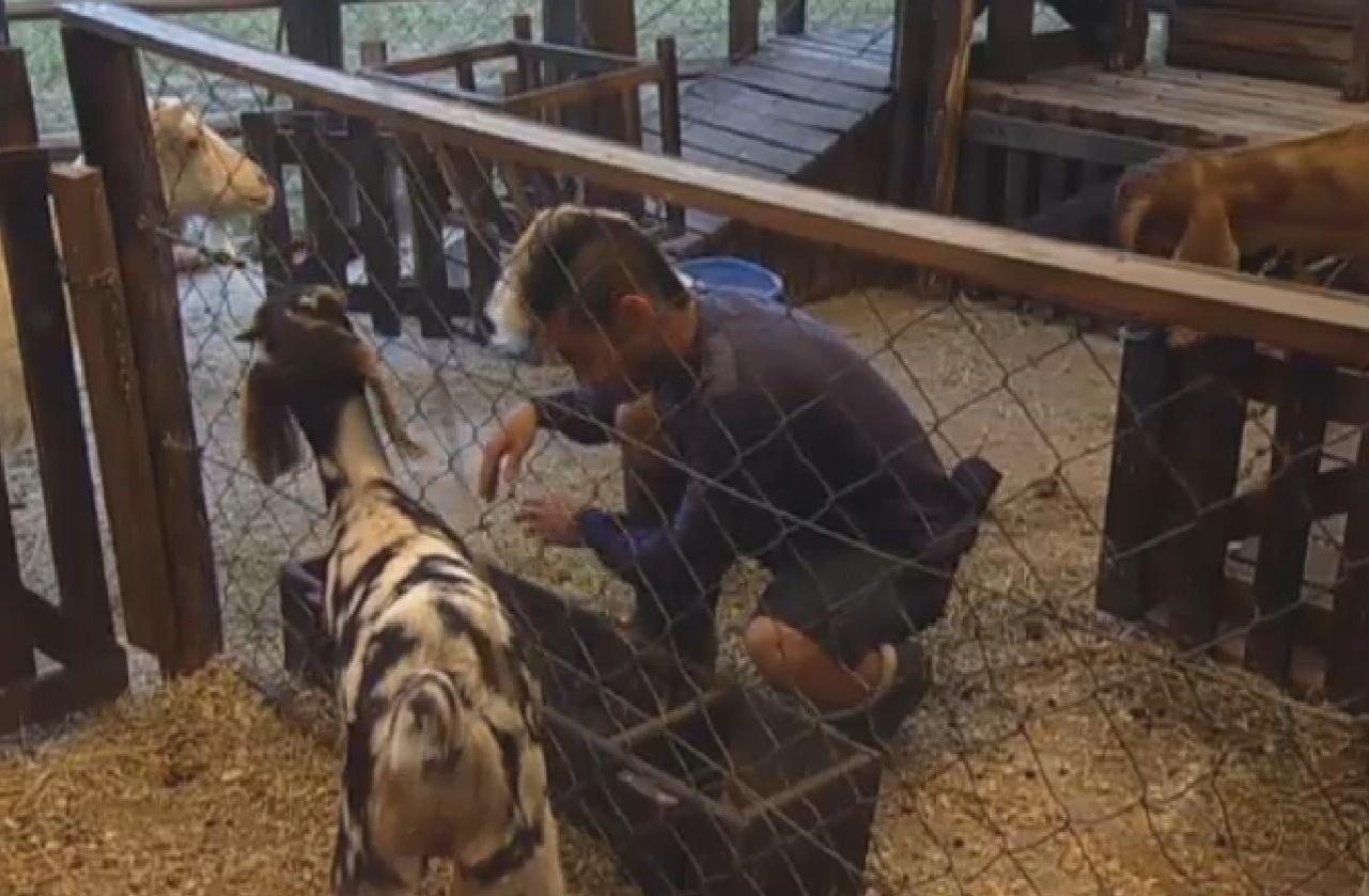 25.ago.2013 - Yudi cuida das cabras