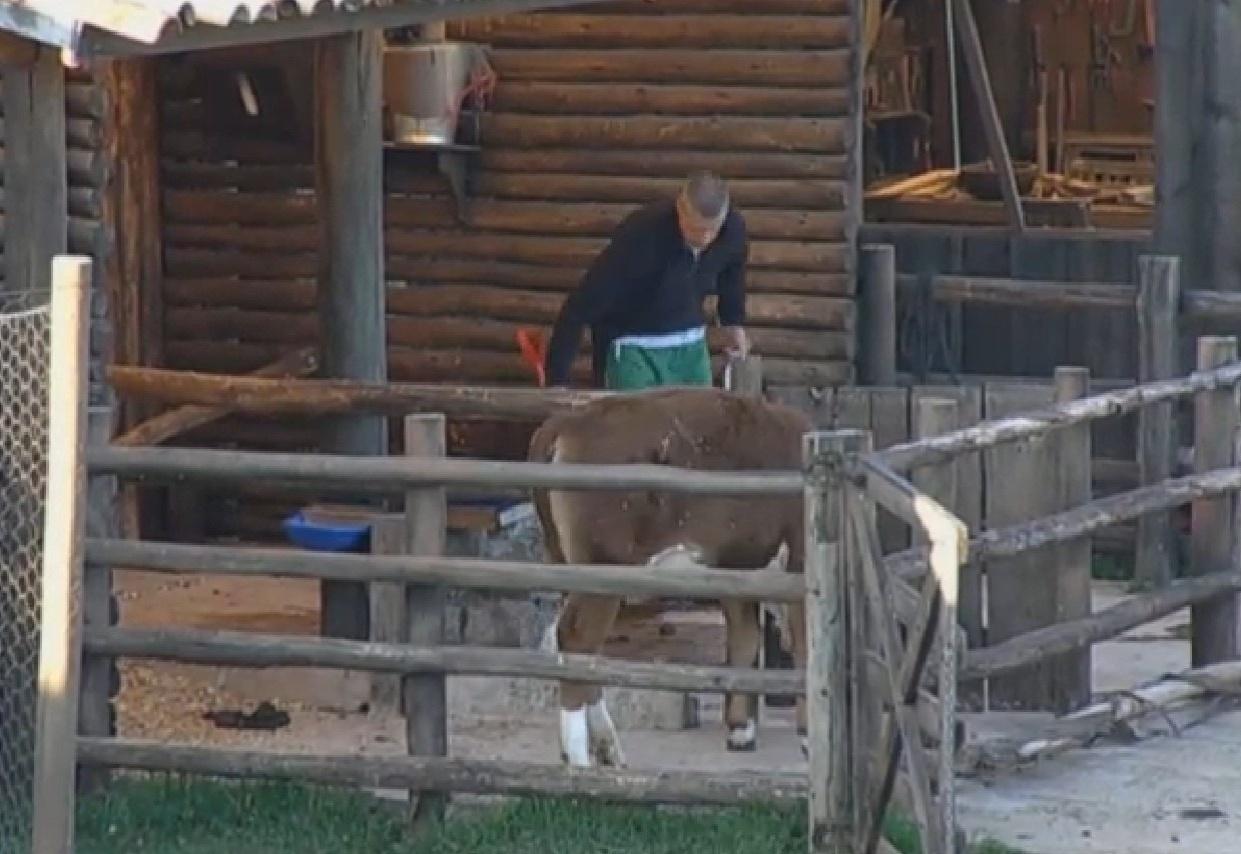 29.ago.2013 - Mateus Verdelho cuida da vaca