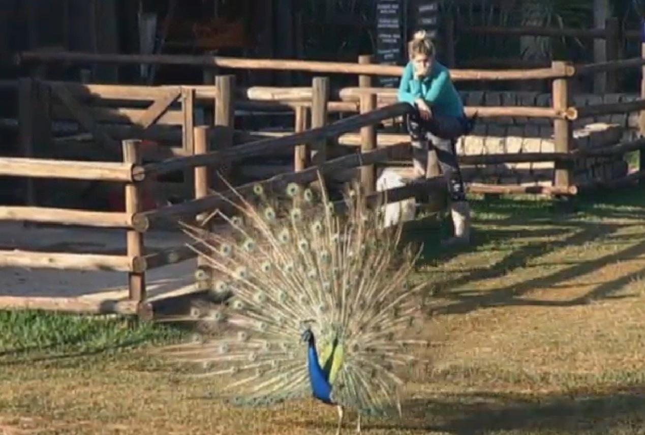 30.ago.2013 - Bárbara Evans admira o pavão