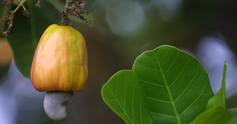 Caju amadurece no maior cajueiro do mundo, em Pirangi (RN). Turistas que visitam a árvore têm direito a beber um pequeno copo do suco da fruta