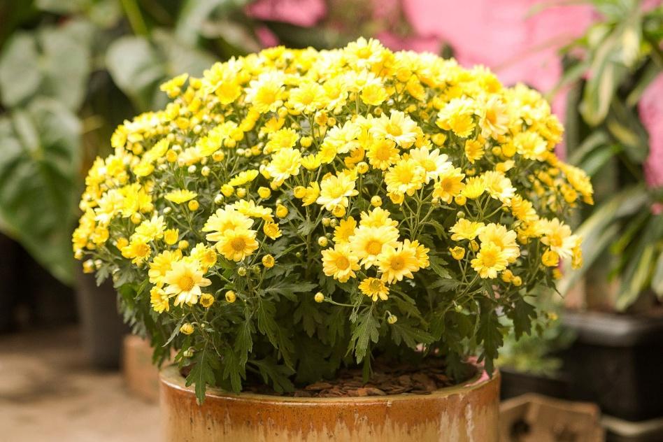 Jardim da terra como cultivar margaridas - Como cultivar crisantemos ...