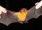 Apesar de temidos, morcegos espalham sementes e ajudam a preservar natureza  (Foto: Marcelo Rubio/Divulgação)