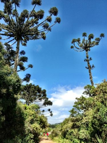 As trilhas do Parque Nacional Aparados da Serra são cobertas por lindas araucárias