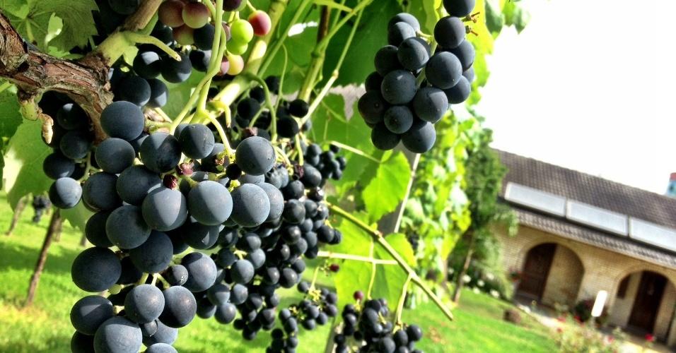 A colheita das uvas na região de Bento Gonçalves (RS) vai de janeiro a março. Na foto, área da Vinícola Casa Valduga, que recebe visitas turísticas