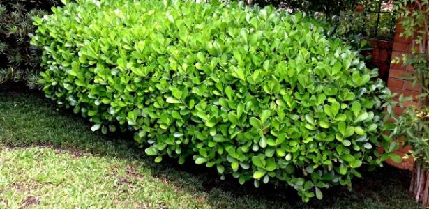 Arbusto resistente ao calor e pode formar cerca viva for Especies de arbustos