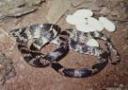 Filhotes de cobra podem nascer de ovos ou da barriga da m�e; saiba mais
