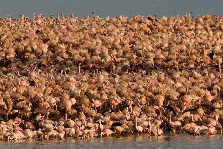 http://imguol.com/c/entretenimento/2014/03/04/kamfers-dam---africa-do-sul-para-abrigar-os-flamingos-que-sofrem-com-a-poluicao-dos-seus-habitats-naturais-construiram-a-ilha-artificial-em-uma-represa-repleta-de-algas-o-alimento-preferido-dessa-1393958236243_750x500.jpg