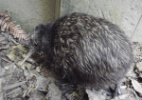 Menor kiwi do mundo nasce na Nova Zel�ndia; conhe�a