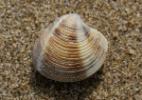 Recolher conchinhas na praia pode prejudicar animais; saiba mais