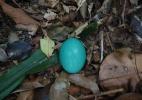 Ave que bota ovo azul est� amea�ada de extin��o; conhe�a