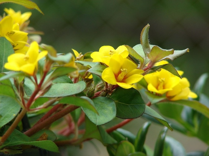 plantas jardim baratas:Lisimáquia (Lysimachia procumbens) – Com folhas arredondadas e flores