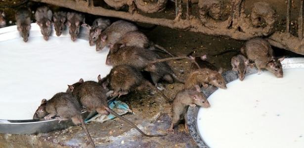 Ratos são alimentados com leite dentro do templo de Karni Mata, na Índia