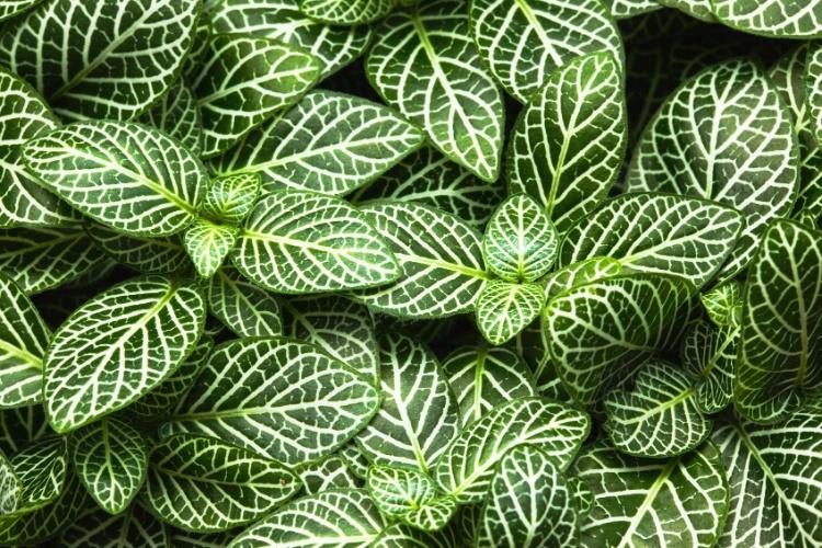plantas tropicais que pertencem ao gênero Calathea, que precisam de