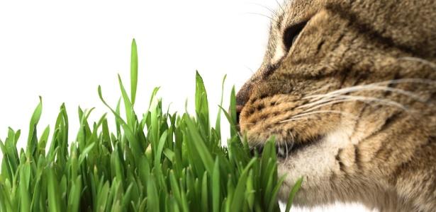 Gatos comem 'matinhos' para aliviar desconfortos causados pelas bolas de pelo