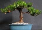 Confira lojas físicas e virtuais que são especializadas em bonsai (Foto: Divulgação)