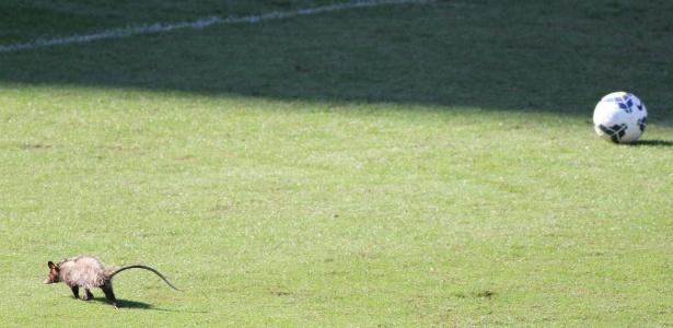 Visita ilustre, gambá invade campo de treinamento do Fluminense, nas Laranjeiras