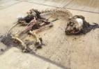 Fiscalização encontra ossadas e animais abandonados no Maracanã