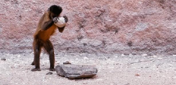 Resultado de imagem para macaco prego ferramenta