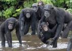 Chimpanzés infectados por laboratório de NY 'colonizam' ilhas africanas (Foto: Jenny Desmond/BBC)