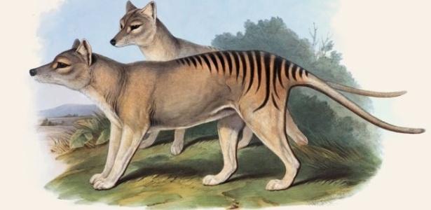 O tigre-da-tasmânia foi o maior marsupial carnívoro do mundo