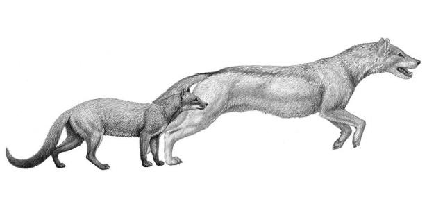 """Dois cachorros de milhões de anos -- o """"Hesperocyon"""" à esquerda e o um pouco mais jovem """"Sunkahetanka"""" -- eram predadores de estilo emboscada. Como as mudanças climáticas transformaram seu habitat, os cães evoluíram para o estilo de caça de perseguição e os membros anteriores também mudaram sua anatomia para esse fim"""