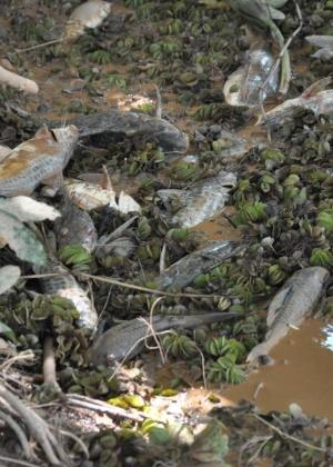 Restaurar natureza tomada por lama é impossível; O Rio Doce pode desaparecer 10nov2015---peixes-do-rio-doce-em-governador-valadares-mg-morreram-com-a-chegada-da-lama-com-rejeitos-de-minerio-de-ferro-liberada-pelo-rompimento-de-barragens-em-mariana-mg-a-prefeitura-da-cidade-1447270576622_300x420