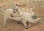 Como especialistas explicam curiosa relação amorosa entre canguru e porca (Foto: Ryan Franzer/BBC )