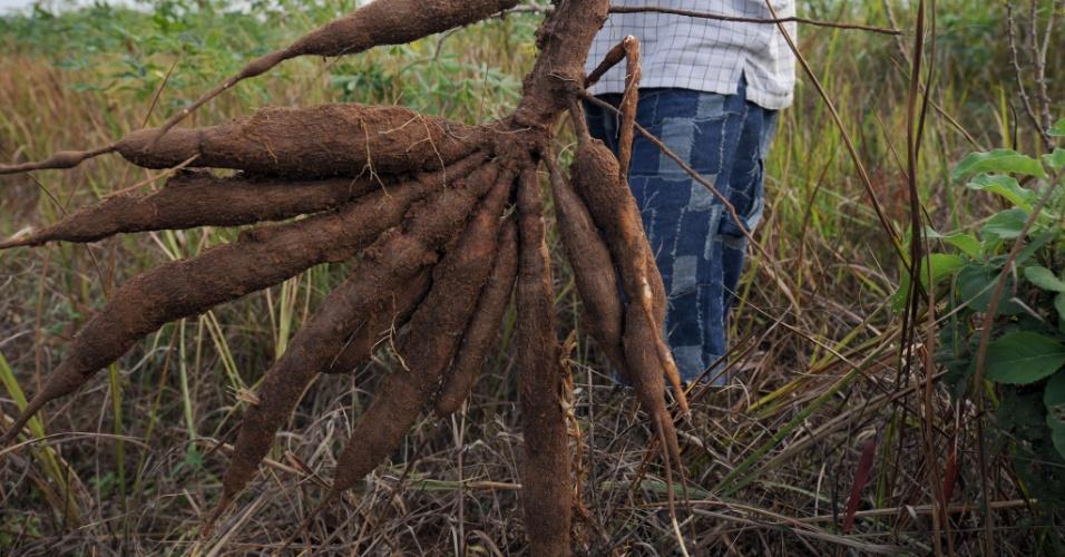 """28.mai.2013 - Um novo modelo de agricultura pode aumentar de maneira sustentável os rendimentos gerados pelo cultivo da mandioca em 400%, segundo a FAO (Organização das Nações Unidas para a Alimentação e a Agricultura). Para o órgão, o tubérculo com """"grande potencial"""" pode substituir o trigo e se transformar no principal cultivo do século 21"""