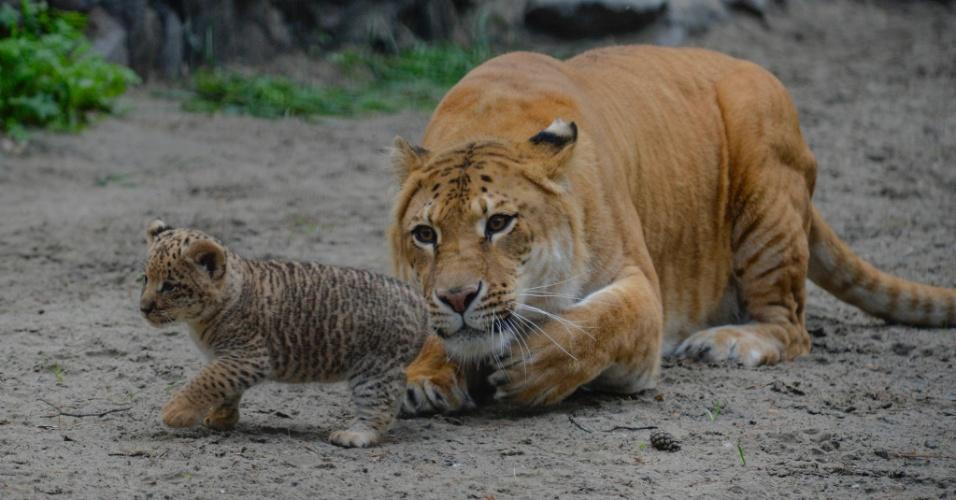 18.jun.2013 - A ligre (meio leão meio tigre) Zita observa um de seus filhotes de um mês de vida no zoológico de Novosibirsk, na Sibéria (Rússia). O pai dos filhotes é um leão. A foto, tirada nesta terça-feira (18), foi disponibilizada nesta quarta-feira (19)