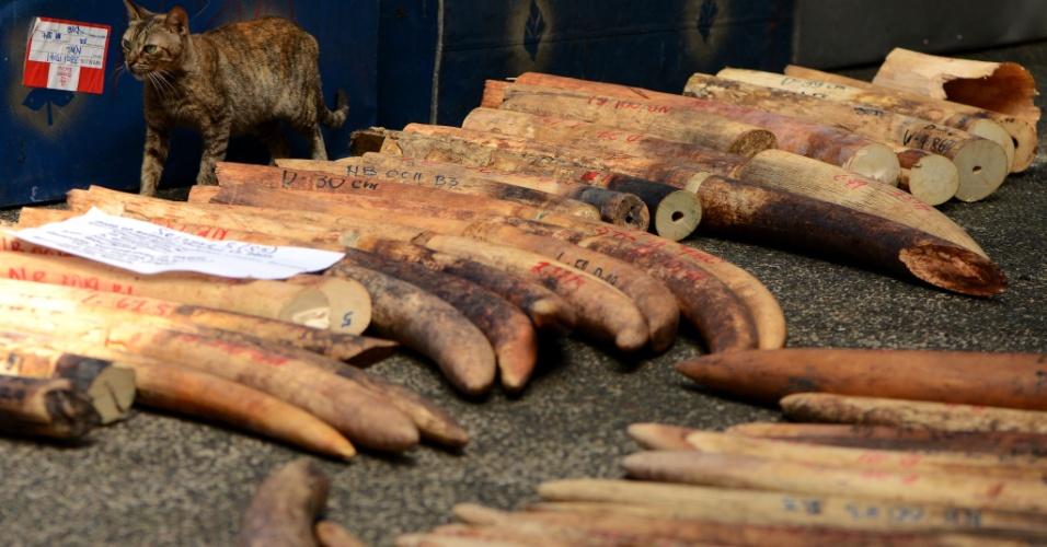 """20.jun.2013 - Presas de elefantes são apreendidas em Manila, nas Filipinas, por organização de proteção à vida selvagem. O país informou, em 11 de junho, que iria destruir cinco toneladas de presas de elefante apreendidas como parte de uma campanha global de sensibilização contra o comércio ilegal dos chamados """"marfins de sangue"""""""