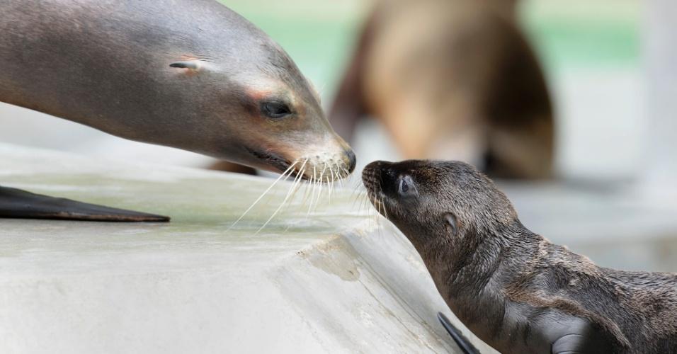 21.jun.2013 - Filhote de leão-marinho brinca com a mãe em seu habitat no zoológico de Munique, na Alemanha, onde quatro filhotes nasceram