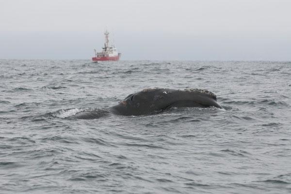 21.jun.2013- Uma baleia negra do Pacífico Norte, um dos animais mais ameaçados de extinção do mundo, foi avistada nos últimos dias pela primeira vez em mais de 60 anos na costa ocidental do Canadá, anunciou esta quinta-feira o ministério de Pesca e Oceanos.