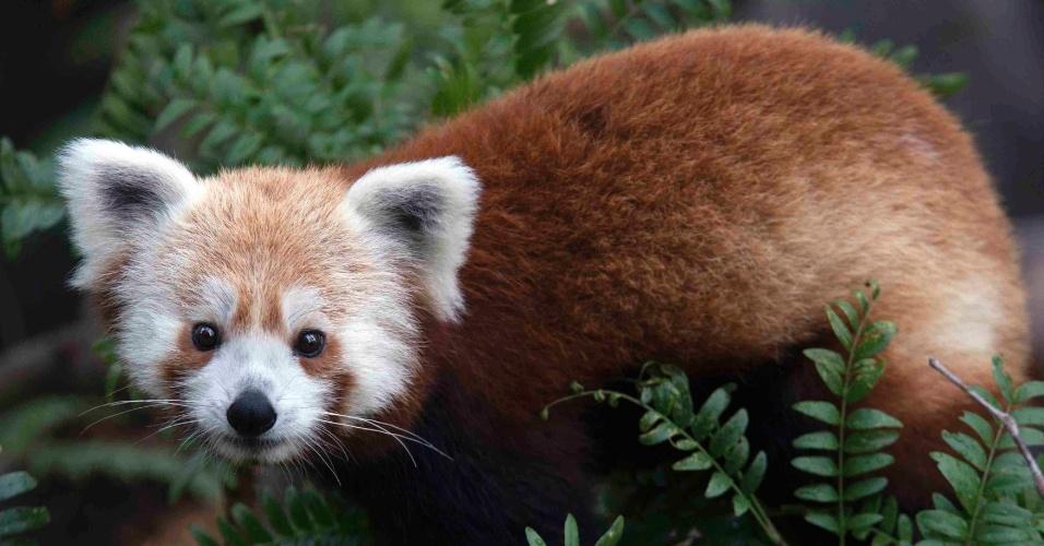 """24.jun.2013 - O Zoológico Nacional de Washington, nos Estados Unidos, chegou a anunciar no seu Twitter que tinha perdido um panda vermelho (""""Ailurus fulgens"""") macho poucas semanas depois de ter sido exposto ao público. Rusty, que fará um ano em julho de 2013, foi recuperado em menos de 24 horas """"são e salvo"""". O panda vermelho é um pequeno mamífero com pelagem escura que vive em árvores do Himalaia e do Sudoeste da China. Depois que 30% da população foi dizimada nas últimas três décadas, a espécie foi considerada """"vulnerável"""" pela União Internacional para a Conservação da Natureza (IUCN, na sigla em inglês)  - atualmente, há cerca de 10 mil indivíduos na natureza"""