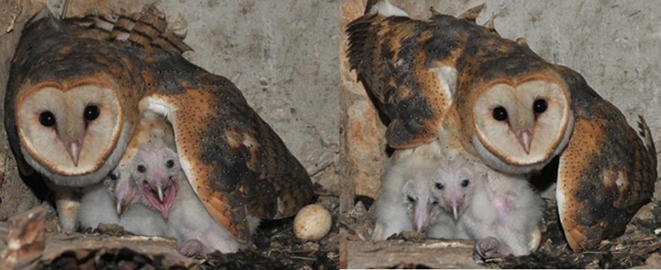 """20.jun.2013 - O ninho de uma coruja alterou o cronograma de obras na rodovia Engenheiro Constâncio Cintra (SP-360), em Jundiaí, São Paulo. A coruja da espécie """"tyto alba"""", conhecida como coruja-de-igreja, colocou quatro ovos em um túnel da rodovia. A coruja, relativamente comum no Brasil, teve dois filhotes"""