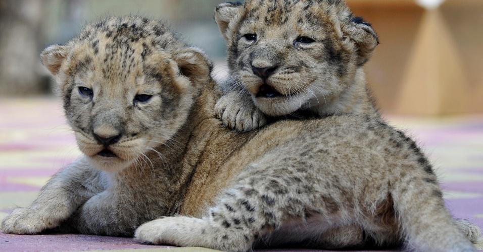 26.jun.2013 - Leões com uma semana de vida fazem primeira aparição pública nesta quarta-feira (26)  em zoológico de Starvropol (Rússia)
