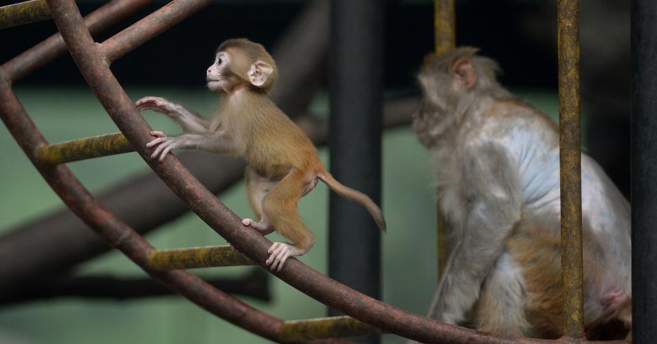 24.jun.2013 - Filhote de macacos faz exercícios na jaula do zoológico de Pequim, na China. A área onde funciona o parque desde 1908 era um palácio da dinastia Ming