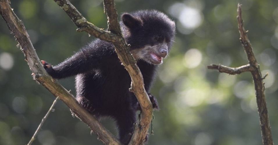 28.jun.2013 - Filhote de urso de seis meses de vida brinca em árvore de seu recinto no zoológico de Tierpark, em Berlim, na Alemanha, nesta sexta-feira (28)