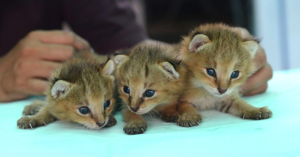 2.jul.2013 - Três linces selvagens são alimentados em fundação e hospital para animais, nesta terça-feira (2), nos arredores de Ahmedabad, na Índia. Os animais foram resgatados em uma aldeia de Gujarat