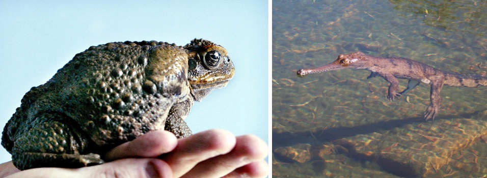 3.jul.2-13 - O venenoso sapo-boi ou sapo cururu, à esquerda, está eliminando a população do crocodilo anão, que tem 1,4 metro de comprimento em sua fase adulta, à direita, na Austrália. Pesquisadores da Universidade Charles Darwin estudam o declínio na população do raro crocodilo depois da chegada dos sapos