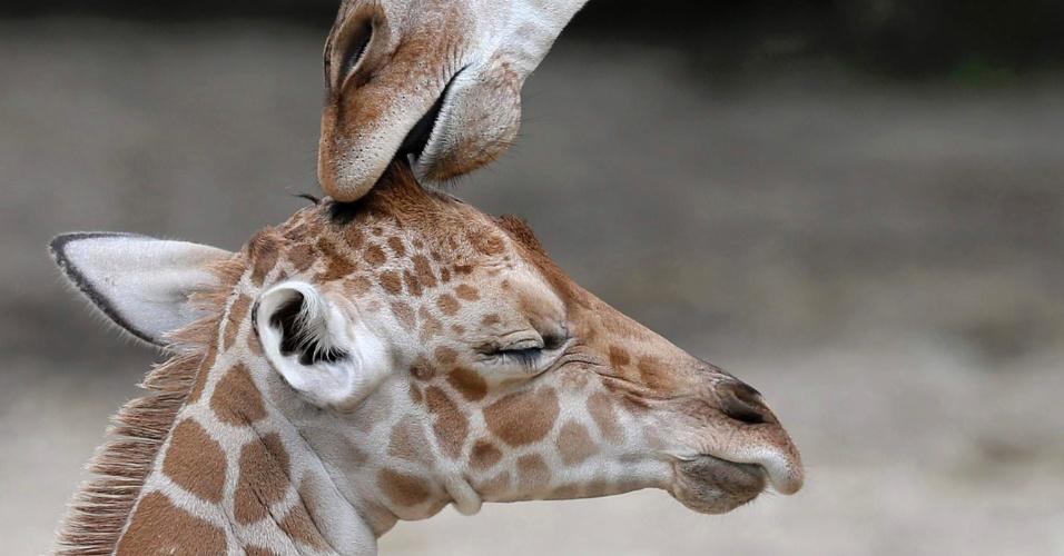3.jul.2013 - Filhote de girafa macho ainda sem nome é acariciado por seu meio-irmão, Dave, no zoológico Brookfield, em Chicago, no Estado de Illinois, nos Estados Unidos. O filhote nasceu em 21 de junho e é a 59ª girafa a nascer no zoológico
