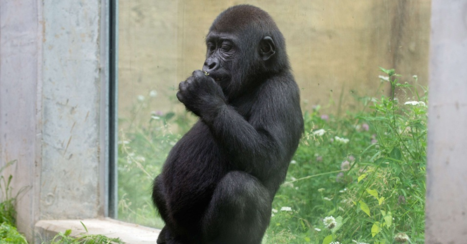 3.jul.2013 - Filhote de gorila descansa no novo espaço inaugurado no zoológico alemão Wilhelma, em Stuttgart