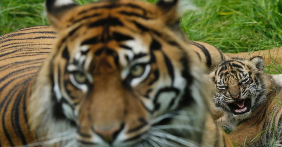 1º.jul.2013 - Kirana, tigresa da Sumatra, fica com seu filhote de um mês em jaula do zoológico de Chester, no norte da Inglaterra