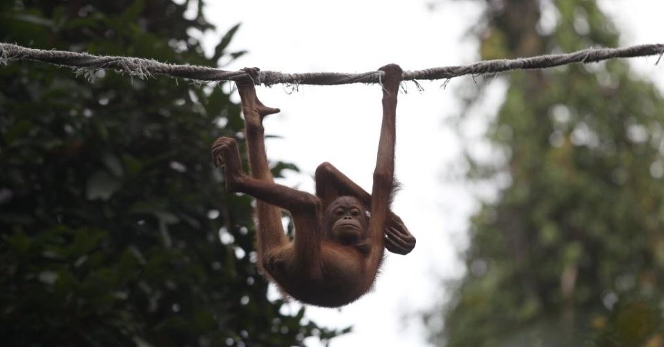 5.jul.2013 - Filhote de orangotango brinca em corda no santuário Sepilok, que abriga macacos da espécie, na parte malasiana do Bornéu