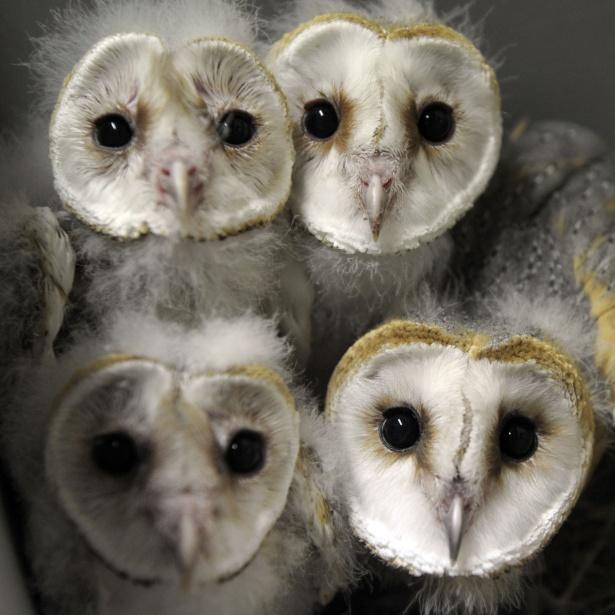 8.jul.2013 - Filhotes de coruja são fotografados no zoológico da cidade francesa de Amneville