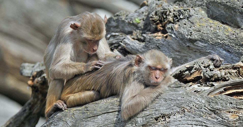 """11.jul.2013 - O rhesus (""""Macaca mulatta"""") é considerado o parente mais """"distante"""" das pessoas entre o grupo de macacos, com quase 10% de diferença do DNA humano. Segundo o Museu de História Natural dos Estados Unidos, mantido pelo Instituto Smithsonian, eles têm, em média, 93% de compatibilidade"""