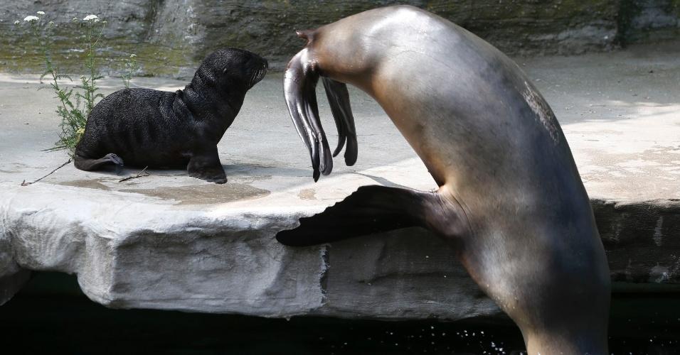 11.jul.2013 - Filhote de leão-marinho com cinco dias de vida observa mãe mergulhar no zoológico Tiergarten Schoenbrunn, em Viena, na Áustria