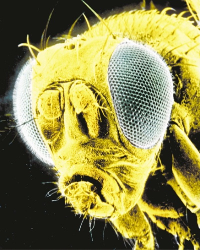 11.jul.2013 - A mosca de fruta é um dos insetos mais usados em modelos animais por ter 60% do genoma humano. A compatibilidade genética ajuda os pesquisadores a decifrar evolução de doenças, assim como alguns mecanismos básicos do organismo