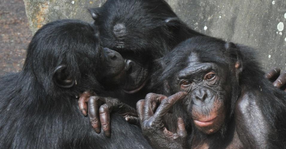 """11.jul.2013 - Os bonobos (""""Pan paniscus"""") são considerados os parentes mais próximos na linha evolutiva humana, com quase 99% de semelhança com o DNA das pessoas. Pesquisa do Instituto Max Planck da Alemanha, de 2012, descobriu que os macacos têm 98,8% de compatibilidade com o homem - a diferença de 1,2% do genoma só perde para a comparação entre os bonobos e os chimpanzés, que compartilham 99,6% do DNA"""