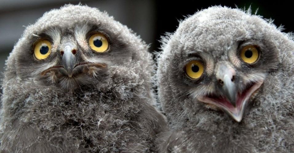12.jul.2013 - Dois filhotes de coruja-das-neves interagem no zoológico de Hanover, na Alemanha, nesta sexta-feira (12)